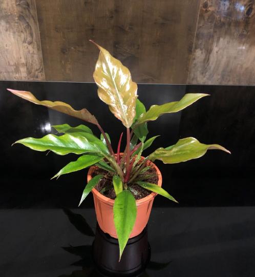 PLANT TISSUE CULTURE IN GEORGIA