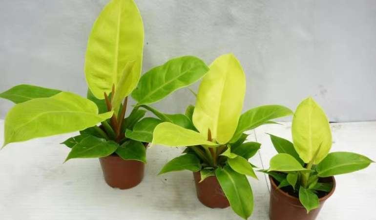 PLANT TISSUE CULTURE IN VIRGINIA