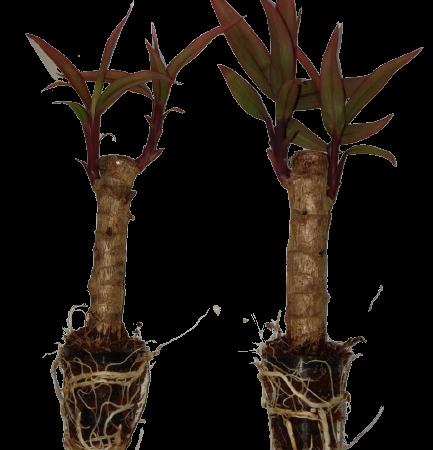 PLANT TISSUE CULTURE IN ARIZONA